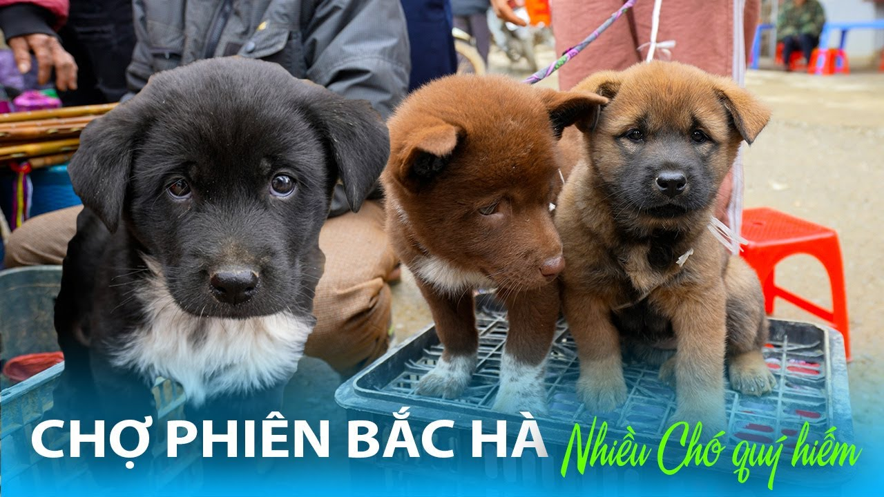 CHỢ PHIÊN BẮC HÀ TÂY BẮC | Độc đáo Chợ Chó Bắc Hà Quốc Khuyển Việt Nam